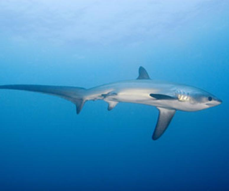 Thresher Shark, Malapascua Island by Kelvin Aitken